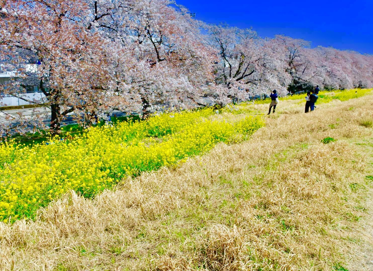 where to see cherry blossoms in saitama