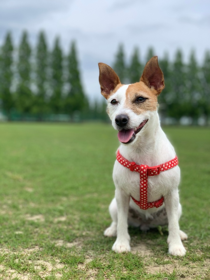 5 Things You Should Know Before Getting a Jack Russell Terrier
